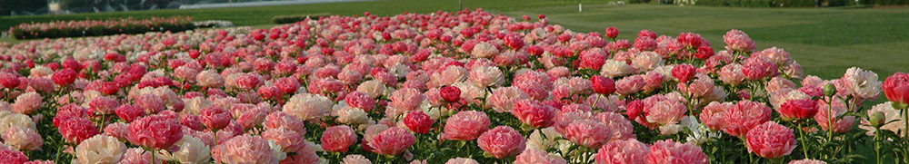 Welcome to Adelman Peony Gardens!
