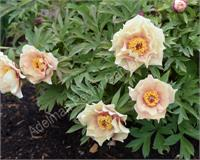 How and when to plant peonies